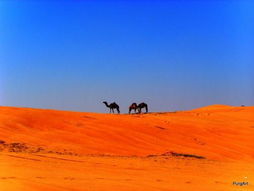 waiting-camels
